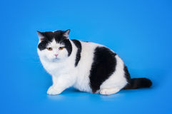 British shorthair cat on a blue background isolated Royalty Free Stock Photo