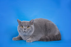 British shorthair cat on a blue background isolated Royalty Free Stock Photography