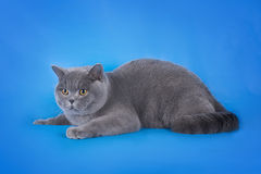 British shorthair cat on a blue background isolated Stock Photo