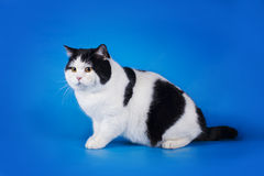 British shorthair cat on a blue background isolated Royalty Free Stock Photos