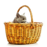British Shorthair Cat. Blue british shorthair cat in basket, isolated on white Stock Photos