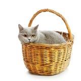 British Shorthair Cat. Blue british shorthair cat in basket,  on white Stock Photos