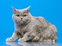 British Shorthair Cat. Blue british shorthair cat, on blue background Stock Image