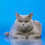 British Shorthair Cat. Blue british shorthair cat, on blue background Stock Images