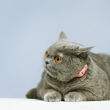British Shorthair Cat. Blue british shorthair cat, on blue background Stock Photos