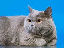 British Shorthair Cat. Blue british shorthair cat, on blue background Royalty Free Stock Images