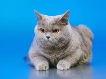 British Shorthair Cat. Blue british shorthair cat, on blue background Royalty Free Stock Photos