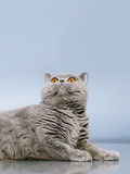 British Shorthair Cat. Blue british shorthair cat, on gray background Royalty Free Stock Photo