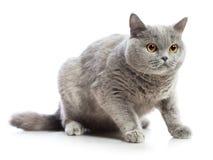 British Shorthair Cat. Blue british shorthair cat, isolated on white Royalty Free Stock Photos