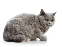 British Shorthair Cat. Blue british shorthair cat, isolated on white Stock Photo