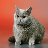 British Shorthair Cat. Blue british shorthair cat, on red background Royalty Free Stock Photography