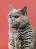 British Shorthair Cat. Blue british shorthair cat, on red background Royalty Free Stock Photo