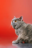 British Shorthair Cat. Blue british shorthair cat, on red background Royalty Free Stock Images