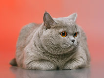 British Shorthair Cat. Blue british shorthair cat, on red background Stock Images
