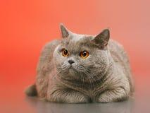 British Shorthair Cat. Blue british shorthair cat, on red background Stock Photo