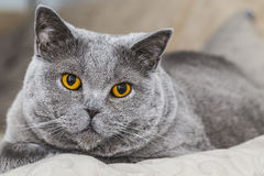 British short haired cat Stock Images