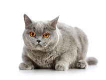 British Shorthair Cat. Blue british shorthair cat,  on white Stock Images