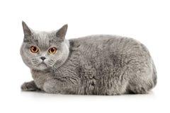 British Shorthair Cat. Blue british shorthair cat,  on white Stock Photo
