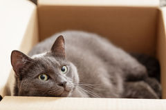 British shorthair cat in the box Stock Photography