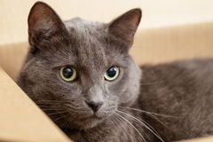British shorthair cat in the box Royalty Free Stock Image