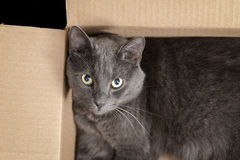 British shorthair cat in the box Stock Images