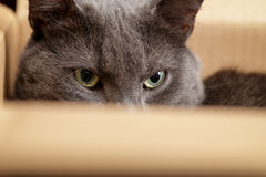 British shorthair cat in the box Royalty Free Stock Photo