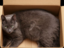 British shorthair cat in the box Stock Photo