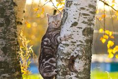 British Shorthair cat. Sits on a birch tree Stock Images