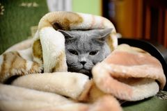 British shorthair cat. Wrapped in blanket Royalty Free Stock Photo