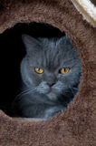 British Shorthair Cat in Cat House Royalty Free Stock Photo