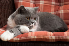 British Shorthair Cat on the Chair Royalty Free Stock Photo
