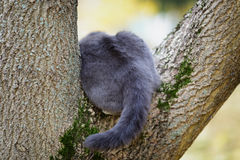 British shorthair cat climbing on the tree Stock Image