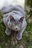 British shorthair cat climbing on the tree Stock Photos
