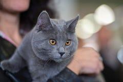 British shorthair cat close up Stock Photo
