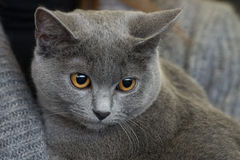 British shorthair cat close up Royalty Free Stock Image