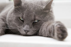 British shorthair cat close up portrait Stock Image