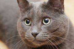 British shorthair cat close up portrait Royalty Free Stock Photo