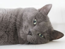 British shorthair cat close up portrait Stock Photo