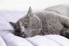 British shorthair cat close up portrait Royalty Free Stock Photo