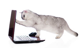 British shorthair cat on a computer Royalty Free Stock Photography