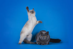 British Shorthair cat couple on a blue background isolated Stock Photography