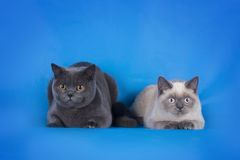 British Shorthair cat couple on a blue background isolated Stock Images