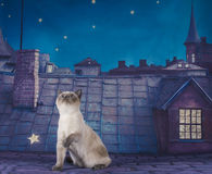 British Shorthair cat couple on a night roof.  Stock Photos
