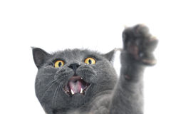 British shorthair cat crazy expression. Royalty Free Stock Images