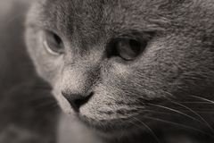 Adult cat face portrait. British Shorthair cat with cute face, white background Stock Photography