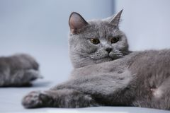 Adult cat face portrait. British Shorthair cat with cute face, white background Royalty Free Stock Photography