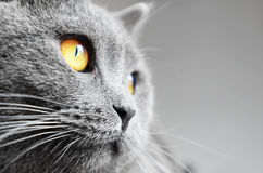 Free British Shorthair Cat Detail Royalty Free Stock Photography - 30276897