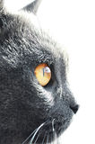 British shorthair cat detail Stock Photography