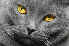 British shorthair cat detail Royalty Free Stock Photography