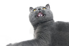 British shorthair cat detail Royalty Free Stock Images